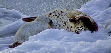 Всемирный день защиты морских млекопитающих отмечали во многих странах 19 февраля. Накануне в Дальневосточном морском заповеднике впервые удалось получить уникальные кадры родов и первых минут жизни детеныша ларги. Снимок камеры онлайн-наблюдения