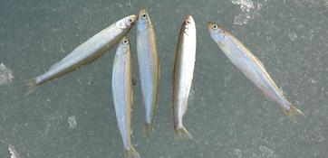 В некоторых регионах Дальнего Востока уже образуется прибрежный лед. Любители зимней рыбалки открывают сезон, не обращая внимания на предупреждения и запреты