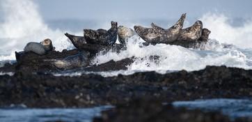 Антуры в заповеднике «Командорский». Его сотрудники смогут продолжить исследования этих редких тюленей – учреждение выиграло грант WWF России. Фото Алексея Перелыгина