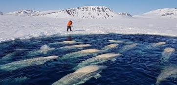 В чукотской бухте Пенкигнгэй с января в ледовом плену находятся около 50 белух. За полыньей ведется наблюдение, животные ждут вскрытия льда. Фото пресс-службы нацпарка «Берингия»