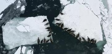 Байкальские нерпы на льдинах. Специалисты Всероссийского НИИ рыбного хозяйства и океанографии провели учет этих тюленей с беспилотников. Фото пресс-службы ВНИРО