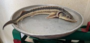 Ученые оценили запасы осетровых на Северном Каспии. В уловах присутствовали как сеголетки и годовики, так и крупные особи. Фото пресс-службы КаспНИРХ