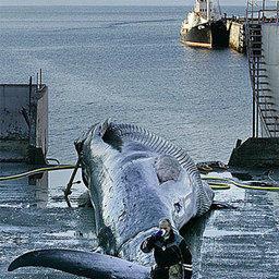 Зачем Исландии китовое мясо?