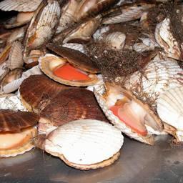 Один из популярных выращиваемых моллюсков – гребешок приморский