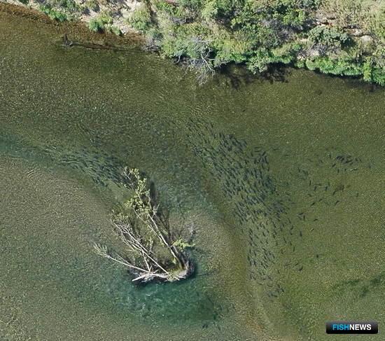 Скопления тихоокеанских лососей. Фото пресс-службы МагаданНИРО