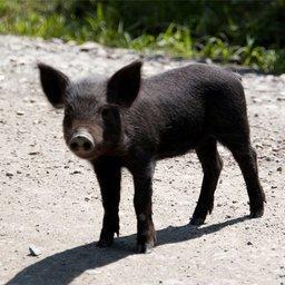 Бороться нужно с чумой не только свиной, но и административной. Фото с сайта forum.there.ru