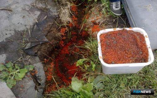 На Сахалине обнаружен очередной нелегальный цех по заготовке красной икры.