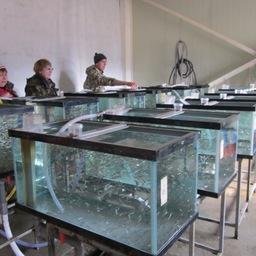 Сотрудники ТИНРО-Центра проводят испытания новых комбикормов для лосося. Фото пресс-службы института