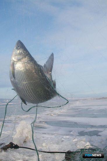 Пелядь в улове не является неожиданностью для местных рыбаков. Фото пресс-службы Байкалрыбвода.
