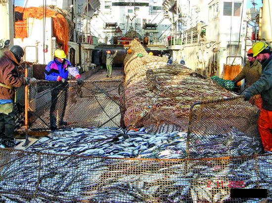 Российские рыбаки вылавливают 100 тыс. тонн сельди в Северном бассейне и 370 тыс. тонн – в Дальневосточном