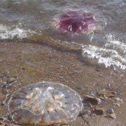 Причиной массовой гибели морских организмов на побережье Анивского залива мог стать прошедший шторм