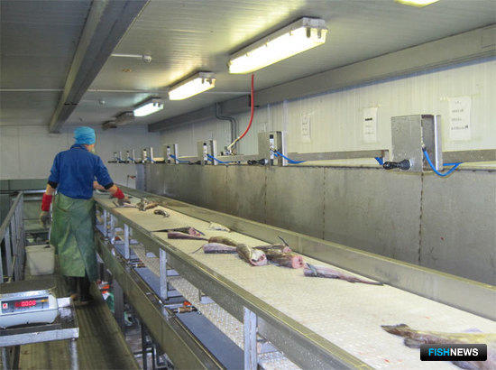 Линия по переработке белорыбицы, сортировочный транспортер