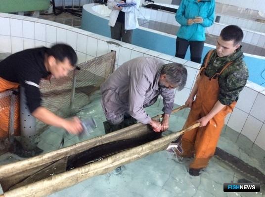 Отбор генетических проб у амурского осетра. Фото пресс-службы ВНИРО