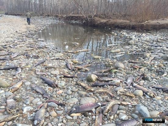 Массовая гибель рыбы на реке Курилка. Фото предоставлено Ассоциацией лососевых рыбоводных заводов Сахалинской области