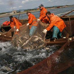 По прогнозам, в 2011 году возможный вылов тихоокеанских лососей в Сахалинской области может составить 280 тыс. тонн