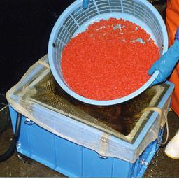 Подготовке икры на лососевом рыборазводном заводе