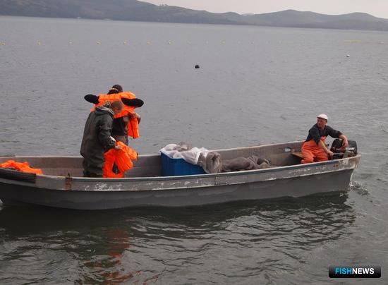 Трепанг в специальных защитных конструкциях расселяется в море
