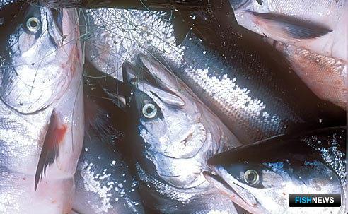 Сенаторы предлагают полностью закрыть промысел лососей в ИЭЗ РФ
