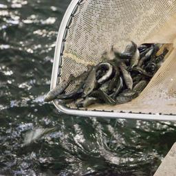 ЕАЭС собирается удвоить показатели по аквакультуре