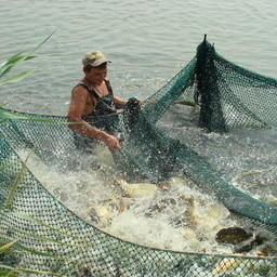 Сазаны на рыбоводном участке в Ростовской области