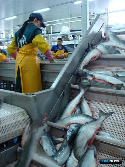 Западная Камчатка может повторить рекорд по вылову лосося