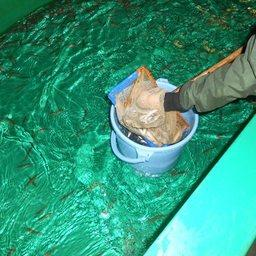 Пересадка малька из бассейна в живорыбную емкость. Фото пресс-службы Сахалинрыбвода