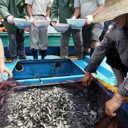 Рыба-спинорог как средство от медуз
