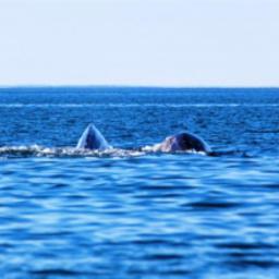 Серые киты на Чукотке. Фото пресс-службы правительства региона