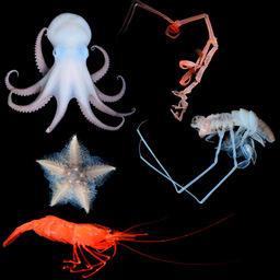 В районе Курильской котловины на глубине более 3,5 тыс. метров ученые ДВФУ и ДВО РАН обнаружили тысячу видов морских обитателей. Фото пресс-службы ДВФУ