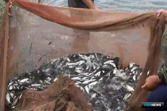В Дагестане сотрудники Западно-Каспийского теруправления Росрыболовства оперативно спасли из заводей на Тереке молодь частиковых рыб. Фото пресс-службы ТУ