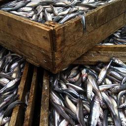 В трюме теплохода нашли более 3 тонн рыбы и рыбной продукции без ветеринарно-сопроводительных документов. Фото пресс-службы Северо-Западного теруправления Росрыболовства