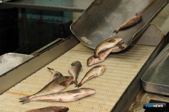 Приморье вынуждено урезать поддержку рыбного хозяйства