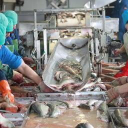 Переработка лосося на камчатском заводе