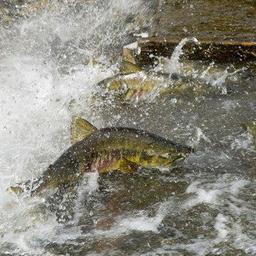 На сессии НПАФК отметили важность совместного изучения лососей