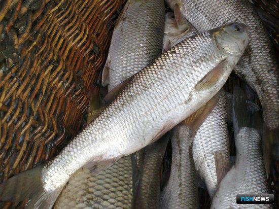 Вырезуб, выращенный рыбоводами ЗАО СХП «Липецкрыбхоз»