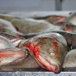 «Расчистка» пути для лосося не прекращается