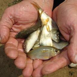 Молодь карпа в рыбколхозе имени И.В. Абрамова, Ростовская область