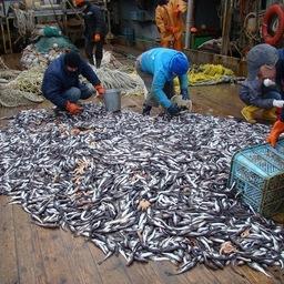 Самой распространенной рыбой в море Лаптевых была сайка (около 130 тыс. тонн и почти 99% от всей учтенной ихтиофауны). Фото пресс-службы института