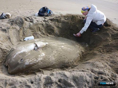 Рыба-луна была выброшена на охотоморское побережье Кунашира. Фото пресс-службы государственного природного заповедника «Курильский».