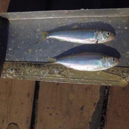 Ихтиологи Азовского НИИ рыбного хозяйства провели рейс по изучению состояния рыбных запасов. Фото пресс-службы института