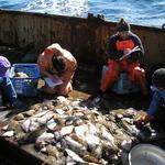 Государство пересматривает подход к использованию «научных» уловов