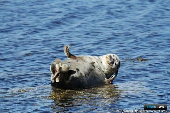 Обыкновенный тюлень в окрестностях поселка Лувеньга Магаданской области. Фото Дмитрия Дешевых