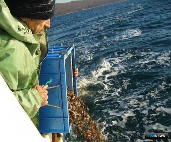 Расселение гребешка у побережья Приморского края