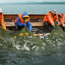 Добыча лосося у берегов Сахалина