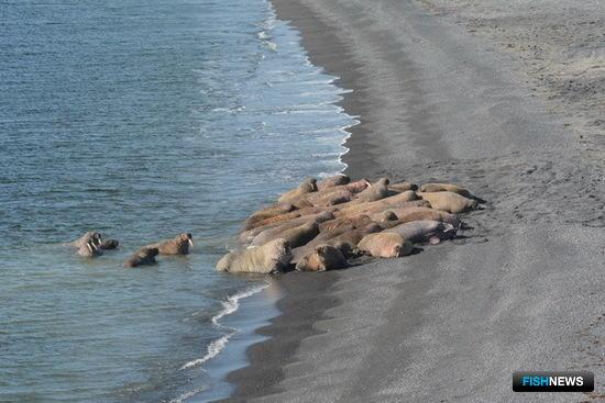 Специалисты Совета по морским млекопитающим успешно завершили сезон полевых работ по изучению моржей атлантического подвида. Фото пресс-службы СММ.