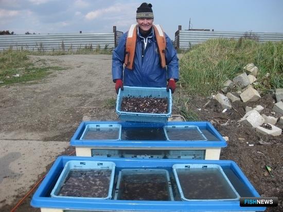 Специалисты СахНИРО в течение года выпустили около 300 тыс. экземпляров жизнестойкой молоди приморского гребешка в залив Анива и лагуну Буссе. Фото пресс-службы института.