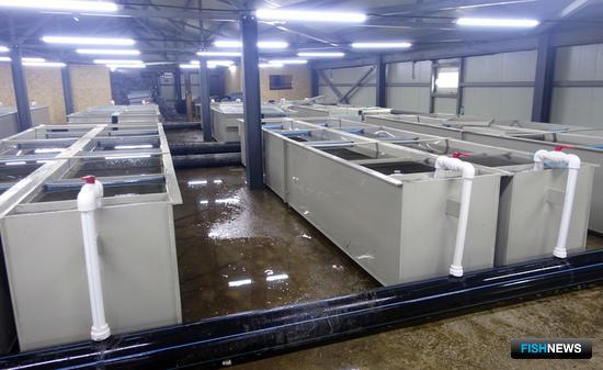 Лососевый рыбоводный завод на реке Первухина, Кунашир