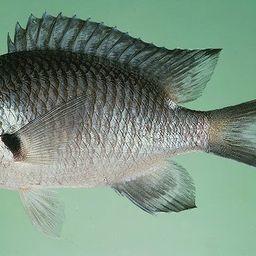 Рыбе добавили популярности