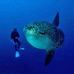 Рыба-луна - самая большая из костных рыб. Фото с сайта www.zoofirma.ru.