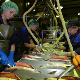 На внутренний рынок поставлено более половины произведенной в Хабаровском крае рыбопродукции. Фото Валерия Спидлена